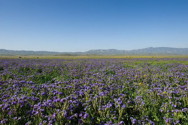 Carrizo Plain - mid April wildflower trip