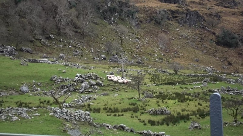 Sheepdog Demo_Ring of Kerry__MAH01969.MP4