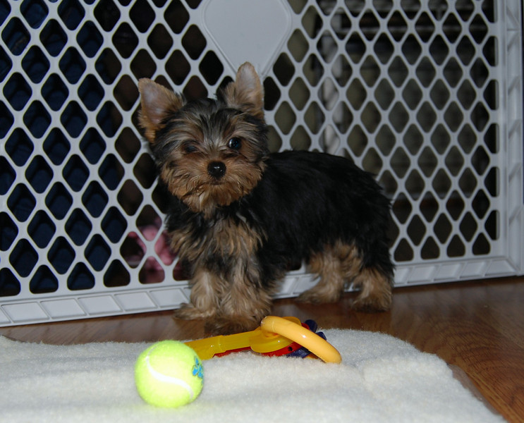 012 Jewels the Yorkshire Terrier 12 weeks