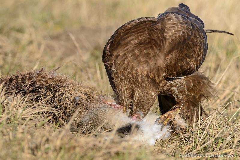 Musvåge (Buteo buteo - Common Buzzard)