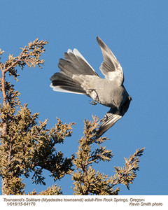 Townsend's Solitaire A64170.jpg