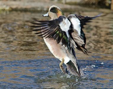 Ducks and Kokanee