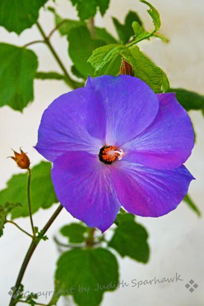 Vine with Violet Blue.jpg