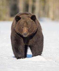 Brown Bears Finland April 2016