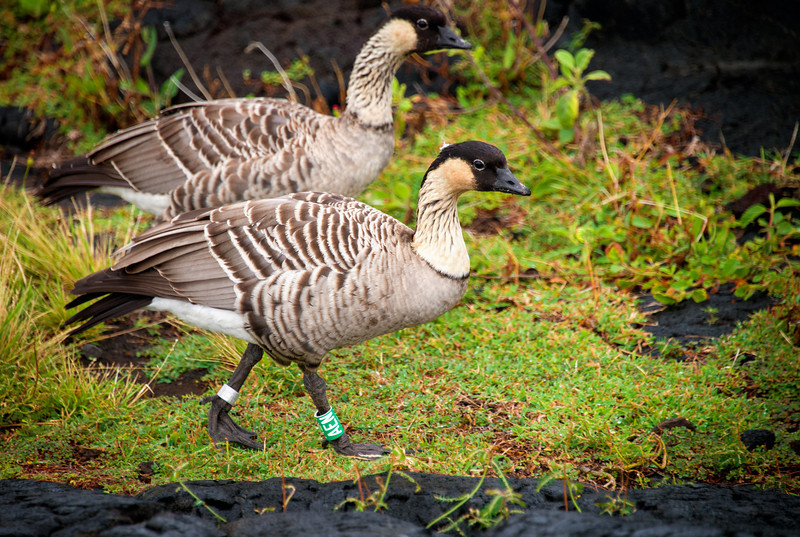 nene-hawaiian-goose.jpg