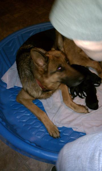 Sysco von Orumhaus #3 - Pups born Nov 2012