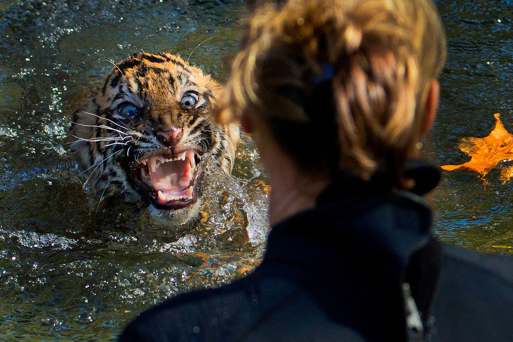 """. A three-month-old Sumatran tiger cub named \""""Bandar\"""" reacts after being dunked in the tiger exhibit moat for a swimming test at the National Zoo in Washington, Wednesday, Nov. 6, 2013. All cubs born at the zoo must take a swim test before being allowed to roam in the exhibit. Bandar passed his test. (AP Photo/Manuel Balce Ceneta, File)"""