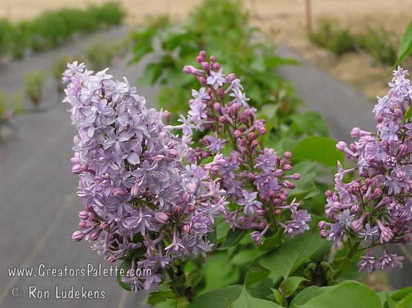 Alphonse Lavalee French Hybrid Lilac - Syringa vulgaris x