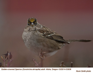 Golden-crowned Sparrow A53836.jpg