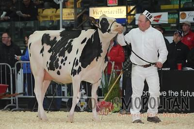 Quebec Spring Snr Holstein Show 2016