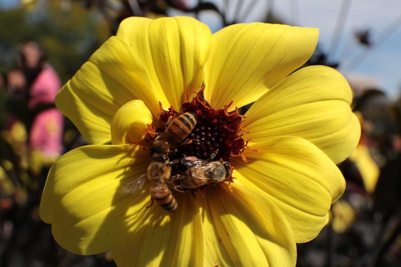 Three Bees on Yellow Dahlia