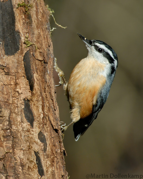 Red-Breasted Nuthatch, they will take a seed to a tree, jam it into a crack in the bark then the hatch it open by hammering at it with there strong bill.