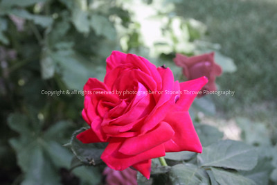029-flower_rose-nlg-ndg-0009