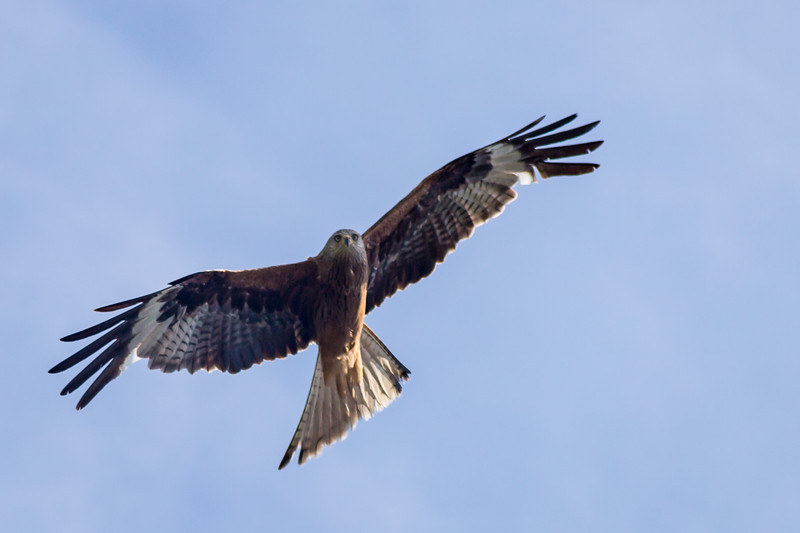 Red Kite Woodstock 2018 (001 of 009).jpg