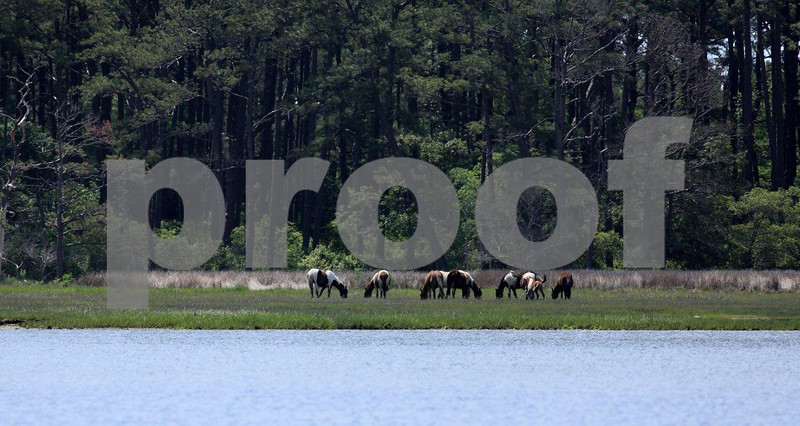 Chincoteague National Wildlife Refuge, Assategue Island, wild horses