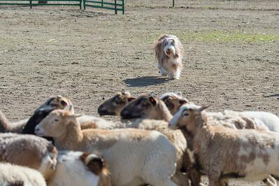 AHBA Ranch Dog Trials March 2017
