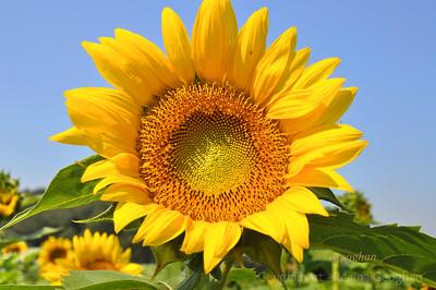 Sunflowers NJ 2013