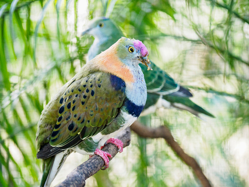 Superb fruit dove.jpg