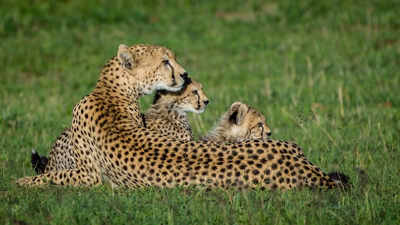 Cheetahs-0226.jpg