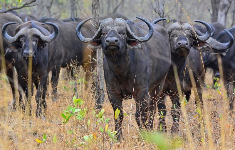 Cap Buffalo Faceing Camera 2.jpg