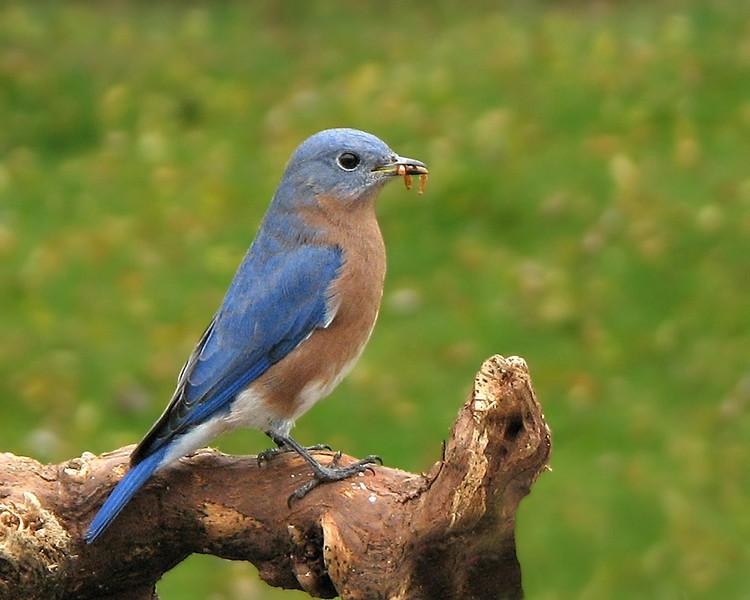 bluebird_3463.jpg