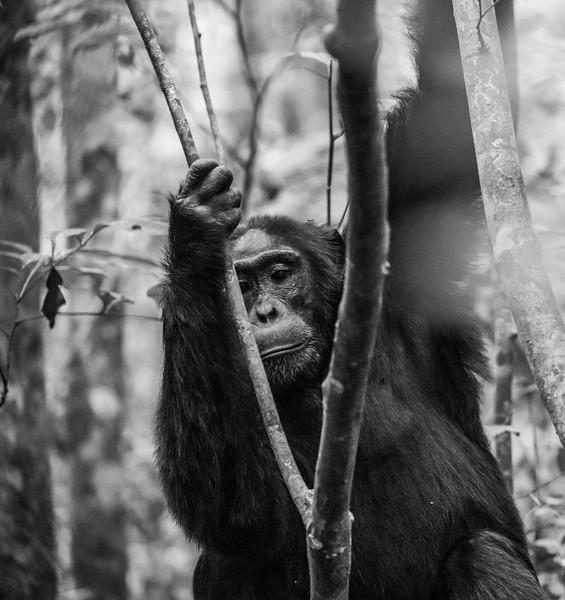Uganda_T_Chimps-815.jpg