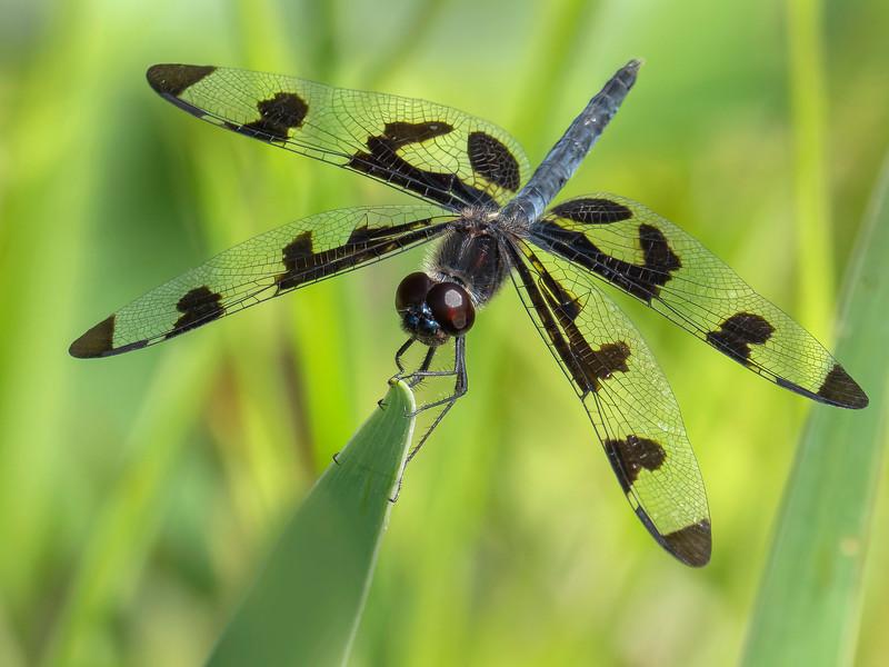 Banded Pennant (Celithemis fasciata), male