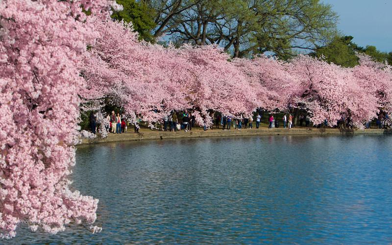 CherryBlossomSP-19.jpg