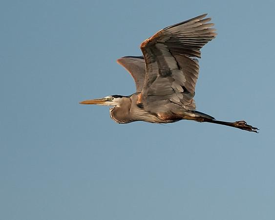 Herons | Egrets | Bitterns