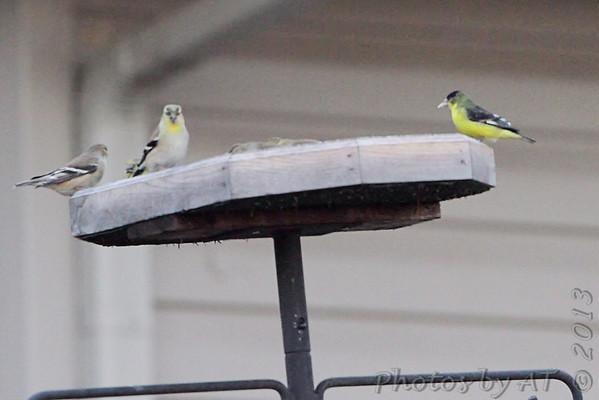 2013-01-23 Lesser Goldfinch