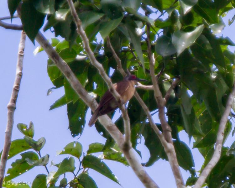 Long-billed Cuckoo at Kwatu Lodge, Papua New Guinea (10-12-2013) 017-261.jpg