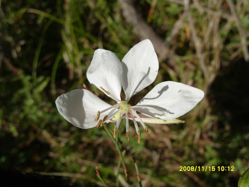 Guara linhheimeri - White Guara,
