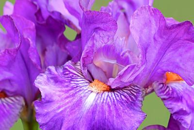 Iris Collection 2016 -Presby Memorial Iris Gardens