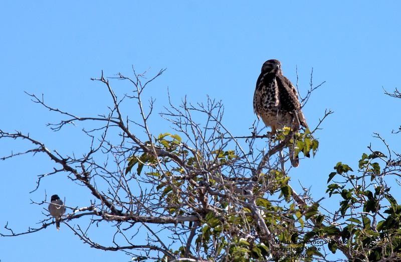 20141004_0205 NT crp Imm Swainson's Hawk & Lggrhd Shrke.jpg