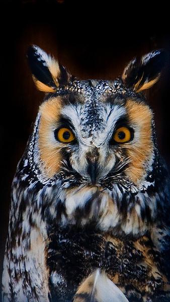 Long Ear Owl .jpg