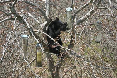 Connecticut Bear