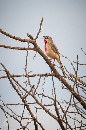 Bushshrike, Rosy-patched (spp. hilgerti)
