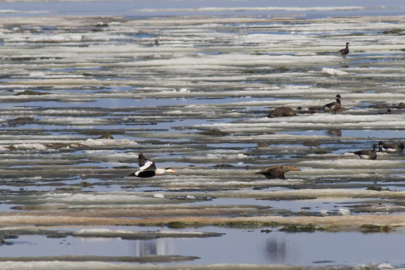 Common Eider - Male and Female in flight - Record - Nome, AK, USA