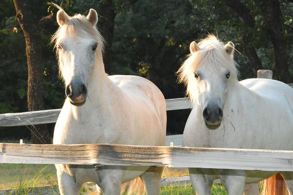"John ""Pappy"" Newman's beautiful Welsh Ponies"