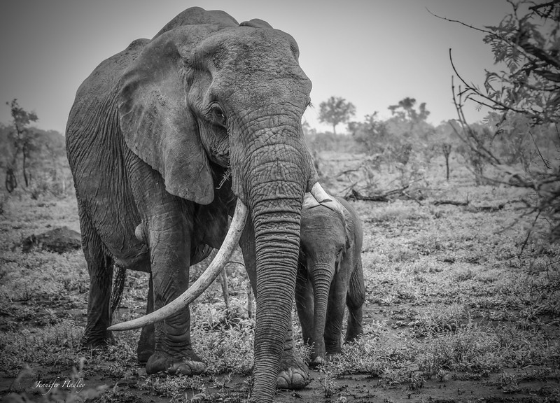 mom and baby elephant BW.jpg