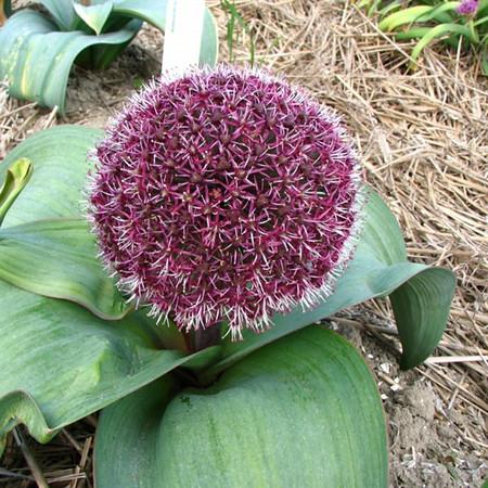 Allium karataviense 'Red Giant'.jpg