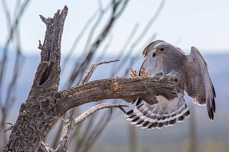 Gray Hawk Landing.jpg