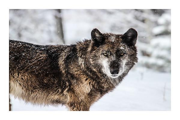 Grey Wolf - The Huntress