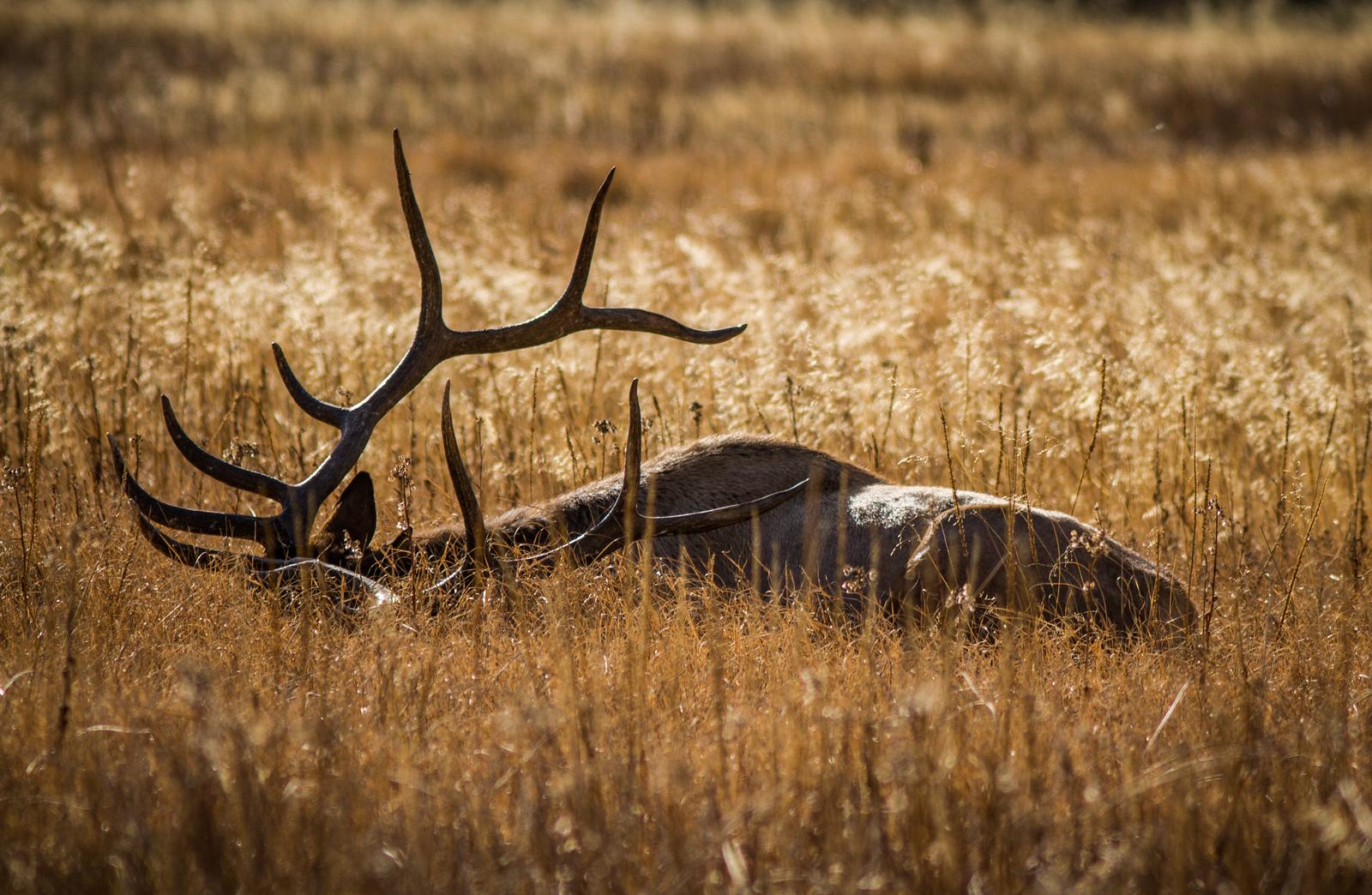 Elk Lying Low