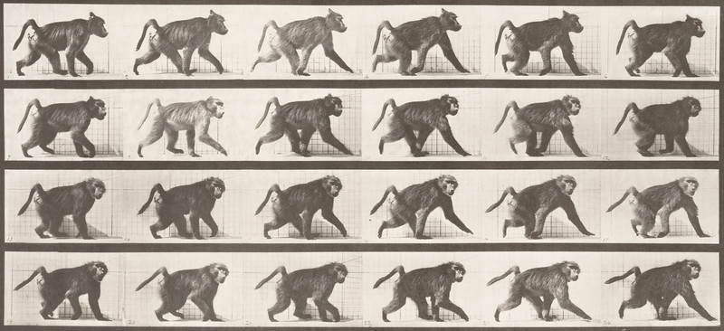 Baboon walking on all fours (Animal Locomotion, 1887, plate 748)