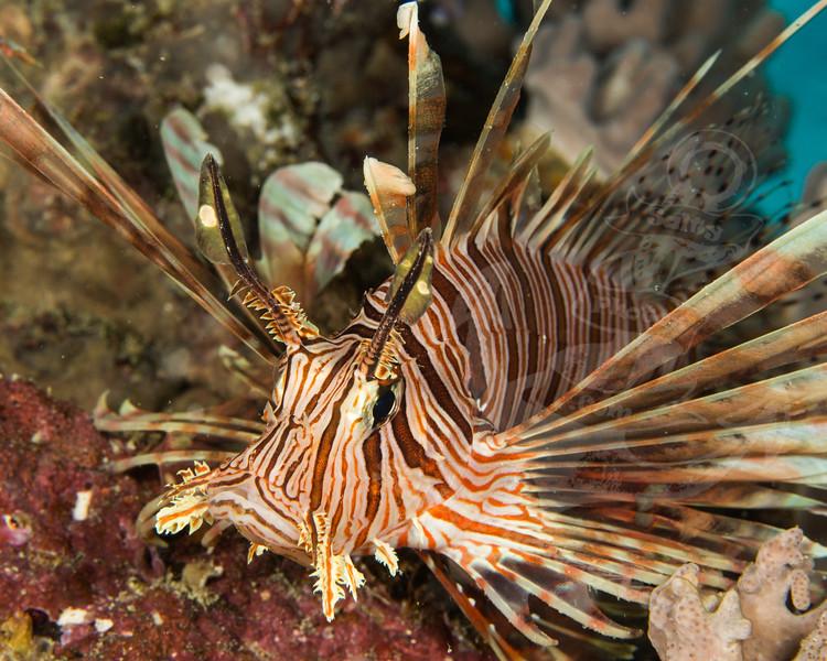 lionfish.jpg