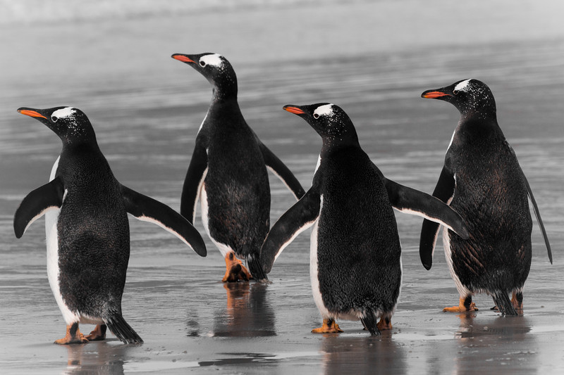 Gentoo penguins, Saunders Island