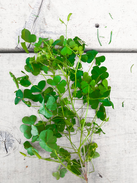 Burntcoat Head wood sorrel.jpg