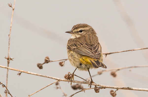 Florida Songbirds