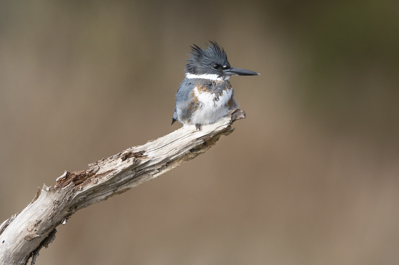 Belted Kingfisher Female Four.jpg